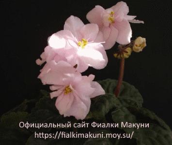 Фиалки Макуни